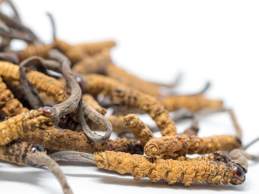 Cordyceps Housenice čínská