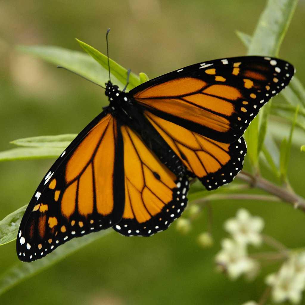 Monarch Butterfly 17 03 2006 6 44 40 p.m.