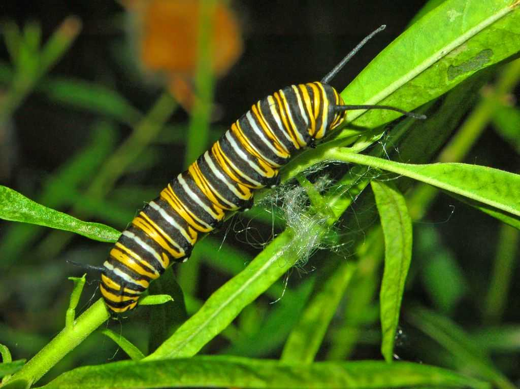 Nymphalidae Danaus plexippus Caterpillar