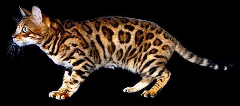 bengal cat 1