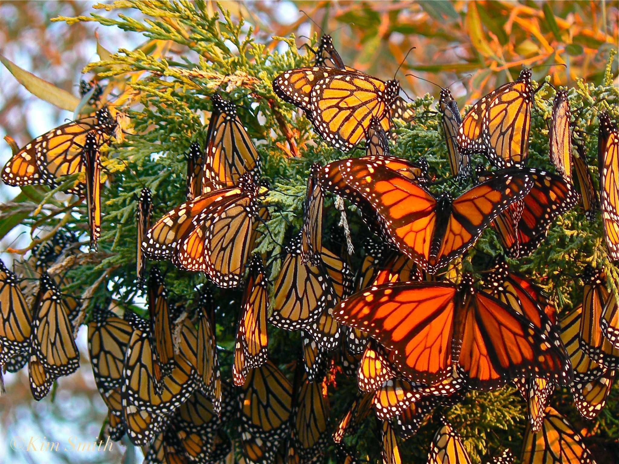 monarch butterflies gloucester massachusetts c2a9kim smith 2006