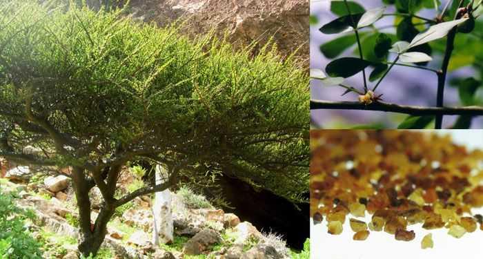 myrha prava commimphora myrrha 100 etericky olej 1 1.jpg.big
