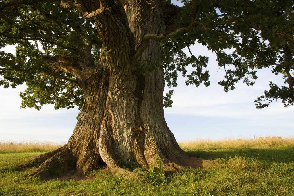 oak tree 1024x683 1