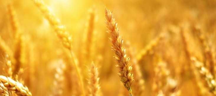 wheat 3506758 1920pixabay anotace